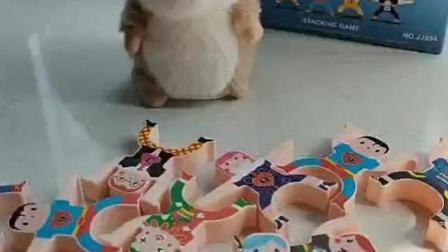 哈哈!调皮的小仓鼠.