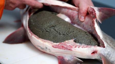 顶级鱼子酱是如何获取的?场面惨不忍睹,网友:看吐了!