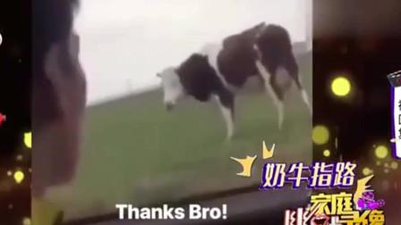 家庭幽默录像:这牛一看就是本地牛 熟门熟路的 问它准没错 方向绝对正确