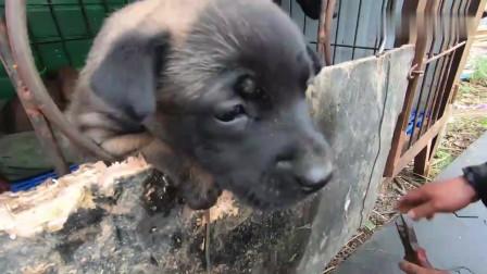 30天的小马犬性子太倔强了,长大肯定是个暴脾气,有当警犬的气质!