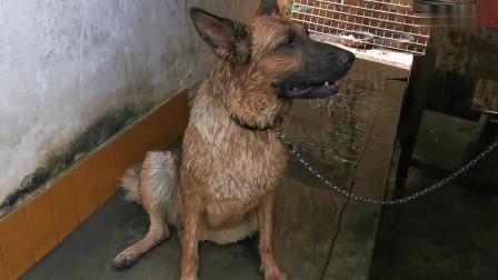 30块买的狗,越养越奇怪,妹子帮狗洗澡时,吓一大跳!