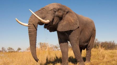 大象有多聪明?它们会规避风险,还将这种能力藏在遗传基因里