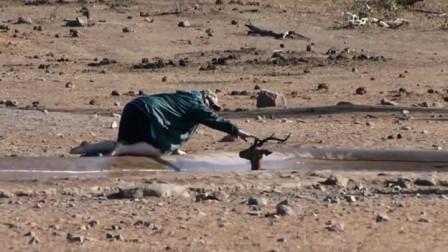羚羊掉入水坑,绝望之际,一辆车开了过来