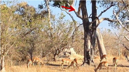 """羚羊正在树下觅食,不料""""祸从天降"""",一只豹子猛冲而下!"""