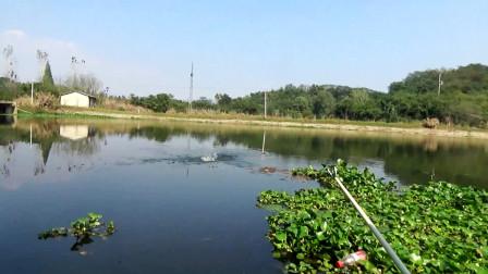 大湖排水港野钓,6.3米竿子玉米钓,收获10条鲤鱼