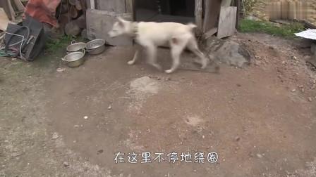 狗狗经常自残把自己咬伤,真相令人心疼,主人后悔不已