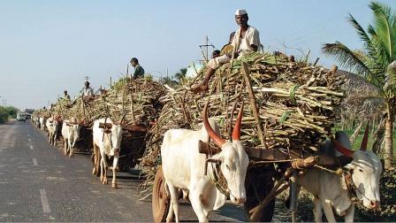 TOP5全球甘蔗产量最多的国家!