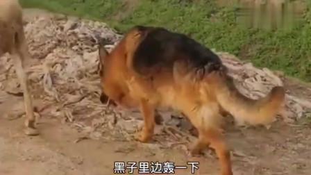 狗狗放羊,羊跑远了,竟喊狗狗把羊赶回了,主人太赖了