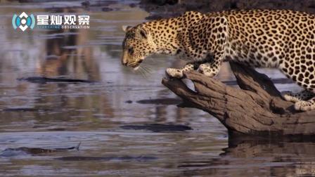 记录豹子抓鲶鱼的画面,动作娴熟