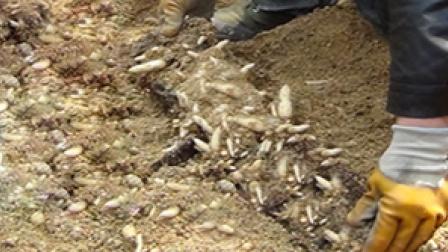 吉林延边于希波种植的天麻是这样挖出来的