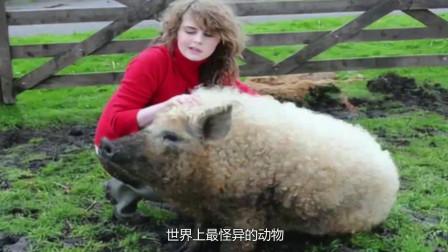 """地球上最怪异的动物,羊和猪的结合体,人们称之为""""草泥猪"""""""