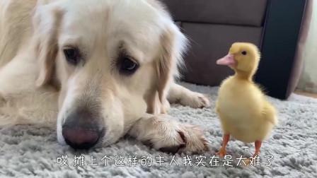 刚送走小鸡又来了只小鸭子,金毛:我太难了看完笑翻了