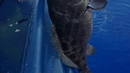渔村兄弟带队深海钓鱼,钓友钓中135斤大石斑,他说20万都不卖