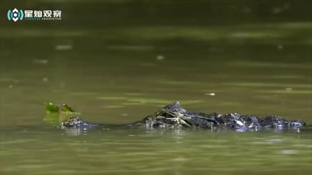 豹下水抓鳄鱼,迅猛解决战斗