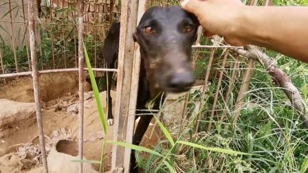 从地里跟回来的长狗,养了半年不知是啥品种,见到生人为何不会叫
