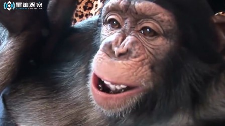 一直把猩猩当人养,它会变成什么样?