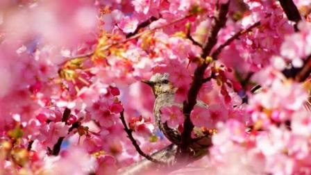 昆明樱花节1