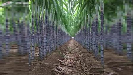 甘蔗是生长在这样的环境下,原来青红色是靠剥叶子,才能长出来