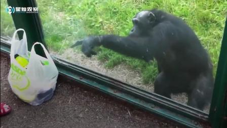 这黑猩猩太聪明!花式问动物园游客讨喝酒