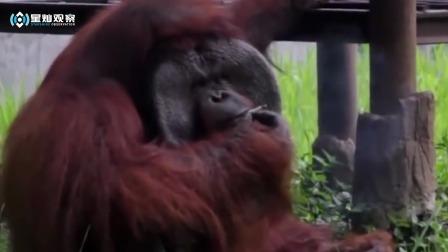 黑猩猩吸烟上瘾,每天至少一包烟,这姿势一看就是老烟民