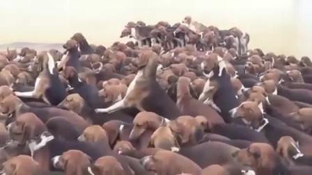 """感受下""""狗老大""""的威严,一声令下所有狗狗才敢来吃,很听话"""
