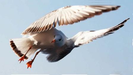 昆明红嘴鸥1