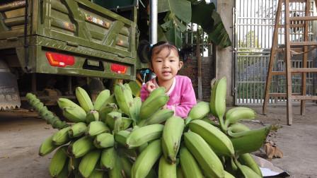 小金金和爸爸妈妈去外婆家摘芭蕉,摘了好大一串生芭蕉