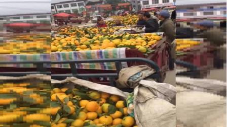 国内外桔子生长采摘季,你吃的桔子是这样被送上市场的