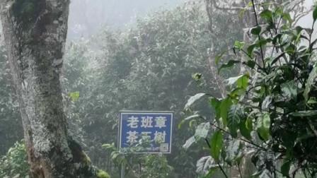 普洱茶第一村,老班章茶树王茶皇后实拍