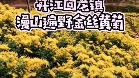 菊花瀑滿山