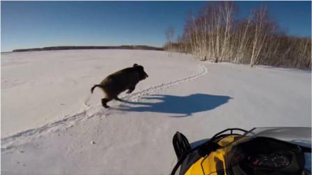野猪在雪地被摩托车追,野猪:求您别追了,我快跑缺氧了!