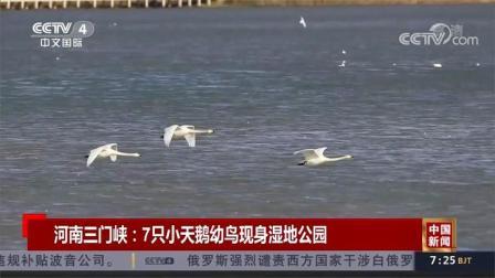 河南三门峡:7只小天鹅幼鸟现身湿地公园