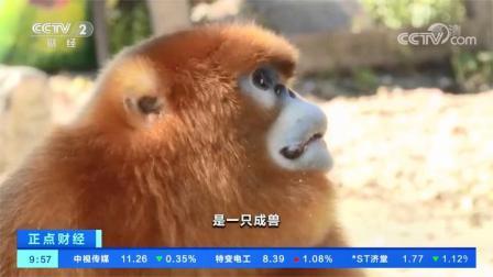 陕西留坝:野生金丝猴入村串户蹭吃蹭喝