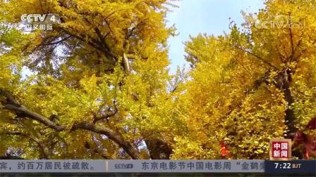 辽宁大连:千年银杏 满树金黄
