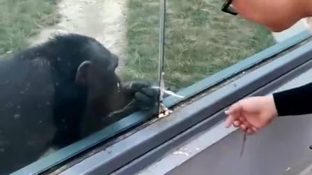 动物园看猩猩,偶然拍下这一幕,咱也不敢问到底谁逗谁