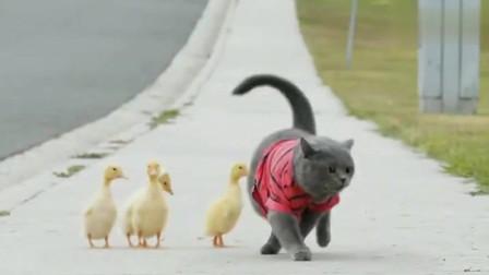 猫:说出来你可能不信,我当了鸭妈妈