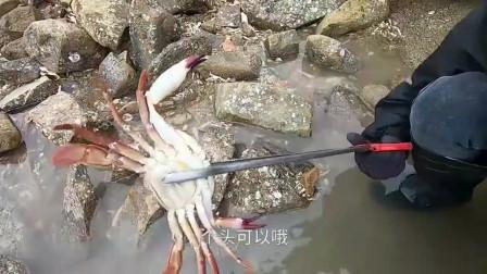 退潮后的水坑处处是海鲜,赶海小哥捡的海螺比拳头都还大