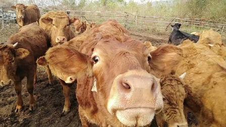 幼牛行情看涨,光小牛犊就得万八千,养牛前景可期。心动不如行动,干就完了!
