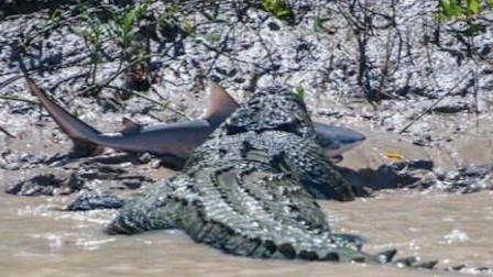 难得一见!6米巨鳄活吞鲨鱼瞬间