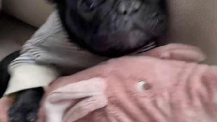 宠物:萌化了,狗狗眼珠运用的这么声情并茂的