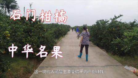 逛百亩桔园,只为多尝尝桔子,我的家乡石门就靠柑橘闻名