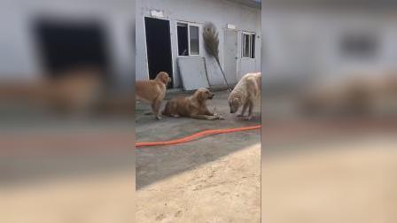 宠物:这狗子看着再呲牙,其实心里慌的一批