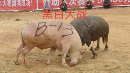 罕见的黑白大战,这牛不知道为啥是白色的