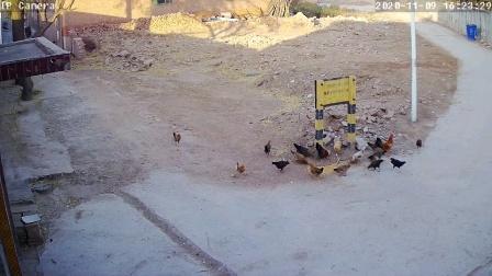 监控拍下的喂鸡画面