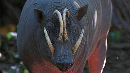 野猪能不能打赢老虎?面对八百斤的巨型野猪,老虎也不敢去招惹