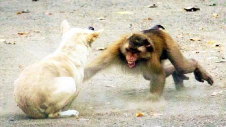 猴子大战狗子,看着狗子吃着大餐,猴子心里不高兴了