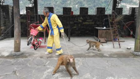 三峡人家的猕猴啥都会:升旗、骑车、踩高跷......