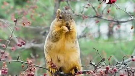 松鼠很忙碌的原因是记性不好找不到松果 艾米咕噜大自然小课堂 32 快剪  1117192848