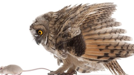 猫头鹰休息的时候一只眼睁着一只眼闭着 艾米咕噜大自然小课堂 27 快剪  1118173443