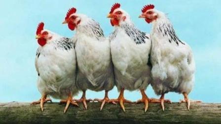 一只鸡的寿命到底有多长?若一直养着不吃,会有什么样的后果?